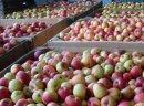 Jablko przemyslowe Jablka przemyslowe