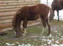 Klacz walijska,kuc,sekcja b welsh-pony pilnie sprzedam okazja +gratis uprząż na 2 konie