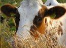 Ukraina.Krowy,jalowki,mleko 3,5%.Cena 0,90 zl/litr