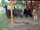 Alpaki, alpaka - Hodowla CYGNUS - zdjęcie 2