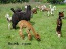 Alpaki, alpaka - Hodowla CYGNUS - zdjęcie 3
