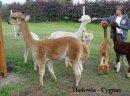 Alpaki, alpaka - Hodowla CYGNUS - zdjęcie 1