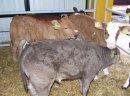 Sprzedam cielęta mięsne byczki byki bydło cielaki sprzedaż cieląt sprzedam byczki cielęta cielę www.sprzedazcielat.pl