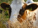 Ukraina.Krowy,jalowki 900zl.Mleko 4%,cena 0,80 zl/litr