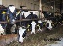 Sprzedam krowy i jałówki HF