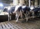 Jałówki HF wysokocielne 6 szt, i jałówki do dalszej hodowli 200-300 kg