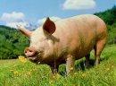 Sprzedam Tuczniki Świnie Leżajsk Łańcut okolice Dobra oferta