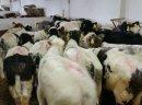Sprzedaż cieląt ras mięsnych!!!