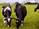 Krowy , pierwiastki, jałówki wysokocielne Holandia Niemcy Dania