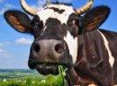 Krowy pierwiastki, jałówki rasy HF- DANIA, NIEMCY!