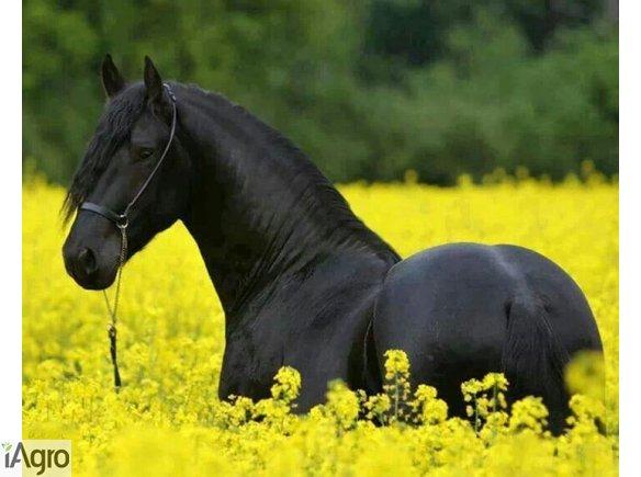Piękne czarne fryzyjskiej klacz potrzebuje nowego domu