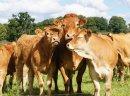Byki, odsadki ras mięsnych(150-300kg) Krzyżówki