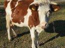 Krowa cielna