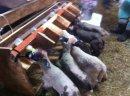 Jagnięta ,owieczki,baranki,owce 45 zł sztuka najtaniej