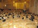Kurczęta odchowane Świętokrzyskie Starachowice Mirzec