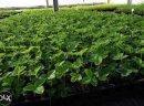 Sadzonki truskawek doniczkowane truskawki truskawka szkółka