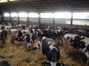 Krowy pierwiastki, jałówki hodowlane. Najwyższa jakość w kraju!