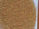 Sprzedawanie żółte proso, len, mąka pszenna, kasza kukurydziana, otręby kukurydziane, kolendra.