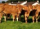 Jałówki, krowy, byczki mleczne, mięsne z IMPORTU
