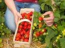 Sprzedam truskawki duza plantacja truskawek Boleslawiec DOLNOSLASKIE