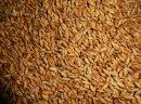 Sprzedam pszenżyto ozime Palermo - Nowość ! rok po centrali. Zbiór 2016. Ziarno jest grube, o wysokiej gęstości i zawartości białka, dobrze plonuje na słabych i kwaśnych glebach. Wykazuje nadzwyczajną zdrowotność, szczególnie odporna jest na rdzę brunatną