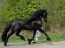 piękne i wytrenowany koń fryzyjski do nowego domu