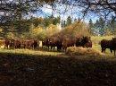Byczki / jałówki SALERS do dalszej hodowli