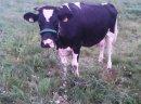 Krowy cielne