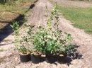 Sadzonki krzewy borówki wysokiej amerykańskiej