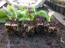 Sadzonki truskawek Marmolada senga clery arosa i wiele innych