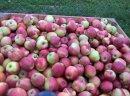 Sprzedam jabłka idared Jonagored Supra Golden