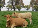 Odsadki mięsne jałówki i byczki
