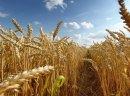 Kupię pszenicę, pszenżyto, owies, jęczmień, żyto, kukurydzę, proso