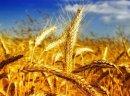 Kupię kukurydzę, żyto, proso