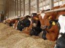 Krowy pierwiastki HF holenderskie