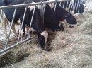 Jałówki, krowy HF , Mombeliarde, Simental IMPORT