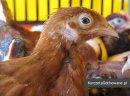 Kurczęta odchowane kury kokoszki Świętokrzyskie Starachowice Mirzec