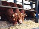Sprzedaż bydła rzeźnego - ZMBM