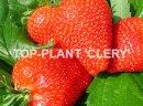 Sadzonki truskawek frigo - wczesne i późne odmiany - Vibrant, Clery, Florence,