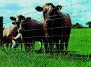 Ukraina. Byczki, jalowki 4 zl/kg. Sprzedam stada bydla miesnego, mlecznego. Wolowina, zywiec. Byki, buhaje miesne 4 zl/kg, cieleta mleczne 5 zl/kg. Czernihowski obw. Wolowina wysokiej jakosci. Krowy rasy golsztynska, lebedinska, czarnoriaba dojone do 20l