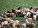 Ukraina. Owce kozy miesne 140 zl/szt, jagniecina 3 zl/kg + 10tys.ha niekoszonych nieuzytkow do zagospodarowania pod fundusze, dotacji UE. Utworzenie gospodarstwa ekologicznego zajmujacego sie chowem i hodowla koz rodowodowych rasowych. Oferujemy bardzo c
