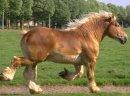 Ukraina. Ciezkie konie wlodzimierskie o duzej masie ciala w cenie zywca 3 zl/kg. Ulokowane w strefie rolno-lesnej sa zwierzetami bardzo silnymi i masywnymi. W odpowiednich cechach budowy nadaja sie doskonale do powolnej pracy pociagowej na drogach twardy