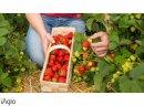 Sprzedam truskawki- zbior od jutra 01.06 duza plantacja truskawek Boleslawiec DOLNOSLASKIE, slomowane pole, chlodnia