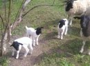 Owce dorper beran