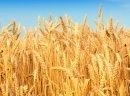 Kupię pszenżyto, żyto, pszenicę i inne zboża