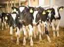 Sprzedaż cieląt mięsnych, HF i mieszanych