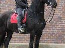 Koń czystej rasy fryzyjskiej klacz (Christie) Zakup - zdjęcie 3