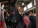 Koń czystej rasy fryzyjskiej klacz (Christie) Zakup - zdjęcie 1