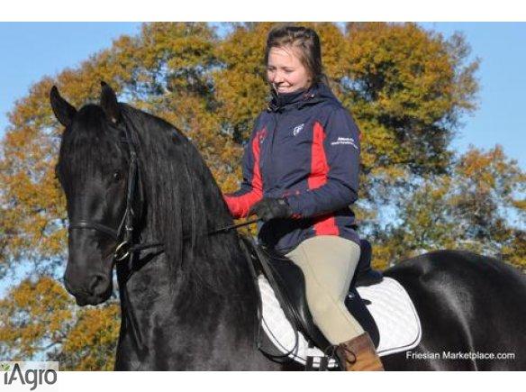 Koń czystej rasy fryzyjskiej klacz (Christie) Zakup