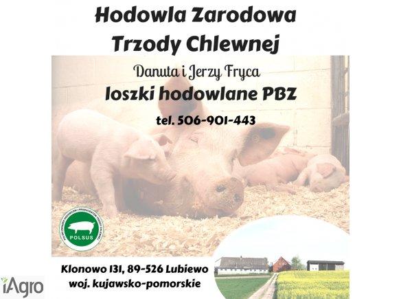 Loszki PBZ